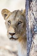 Lion behind tree in Africa Kuvituskuvat