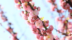 Blossom pink sakura tree with  slider and Singing Nightingale Stock Footage