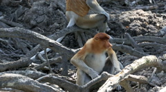Young male proboscis monkey sitting in roots of mangrove trees Stock Footage