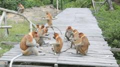 Proboscis monkeys on feeding platform Stock Footage