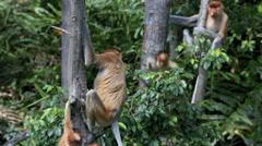 Proboscis monkeys sitting in trees Stock Footage