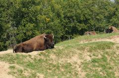 Quebec, bison in the Saint Felicien zoo - stock photo