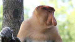 Large nosed male proboscis monkey Stock Footage