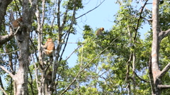 Proboscis monkeys jumping through trees - stock footage
