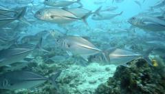 Huge school of bigeye trevally underwater Stock Footage