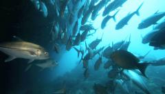 School of bigeye trevally swimming at entrance of underwater cave Stock Footage