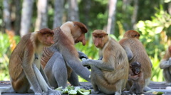 Proboscis monkeys on feeding platform - stock footage