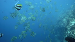 School of batfish swimming along coral reef wall with grey reef sharks circling Stock Footage