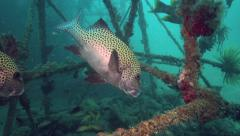 Harlequin sweetlips fish swimming amongst artificial coral reef Stock Footage
