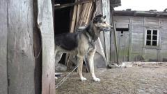 Mongrel dog sitting in yard, on chain Stock Footage