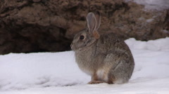 Cottontail Rabbit in Snow - stock footage