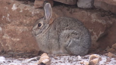 Cottontail Rabbit Resting - stock footage