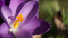 Close up of a purple crocus flower. Stock Footage