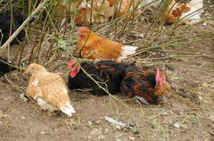 France, poultry farming in Brueil en Vexin - stock photo