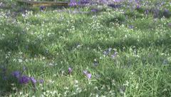 Stock Video Footage of Birlingham Churchyard Crocuses and Snowdrops