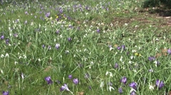 Birlingham Churchyard Crocuses and Snowdrops Stock Footage