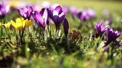 Crocus flowers in spring sunshine. - stock footage