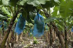 France, banana plantation in Martinique Stock Photos