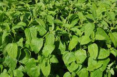 mentha in a garden - stock photo