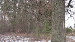 Panorama of pine forest in late winter, spruce, birch Stock Footage