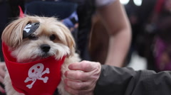Masked yorkshire terrier as a pirate with a bandage and a bandanna. Stock Footage