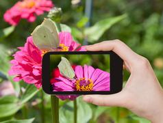 Tourist taking photo of butterfly Brimstone Stock Photos