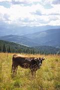 Cow on a pasture in Carpathian mountains, Ukraine Stock Photos