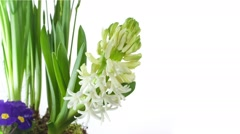 White Hyacinth Flower Bulb Blooming on white Stock Footage