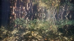 Mangrove roots underwater with school of fish Stock Footage