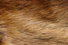 Beaver Fur Background - stock photo