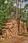 Stock Photo of maritime pines in La foret des Landes