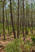 maritime pines in La foret des Landes - stock photo