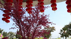 Red chinese lantern turns over pink flowered sakura Stock Footage