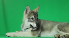Husky puppy Stock Footage