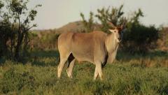 Alert eland antelope Stock Footage