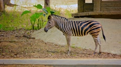 FullHD video - Zebra Grazing Nervously in His Zoo Enclosure Stock Footage