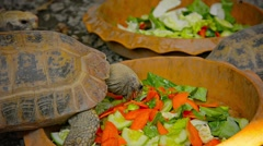Tortoises at Feeding Time at Chiang Mai Zoo in Thailand Stock Footage