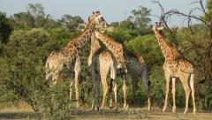 Giraffes in natural habitat - stock footage