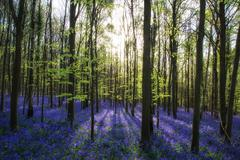 Beautiful morning in Spring bluebell forest with sun beams through trees - stock photo