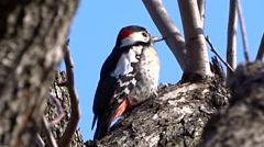 Woodpecker on a tree - stock footage