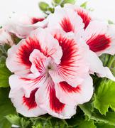 Flowers of a two-color geranium close up - stock photo