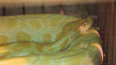 Golden albino python Stock Footage