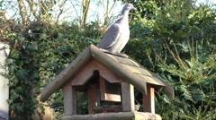 Pigeon walking around on feeder Stock Footage