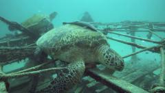 Scuba divers watching green sea turtles resting on artificial reef structures Stock Footage