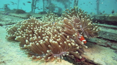 Bright orange anemonefish or clownfish sheltering in anemone Stock Footage