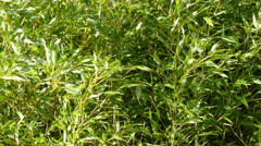 Green Bamboo branches Stock Footage