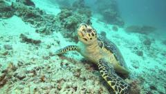 Hawksbill sea turtle feeding on coral reef Stock Footage