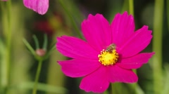 Cosmos flower blown by wind with bee moving Stock Footage
