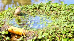 Urban sparrow bathing in the  water pool with goldfish Stock Footage