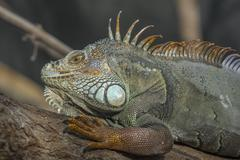 Green Iguana headshot Stock Photos
